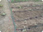 Сад и огород: Капельное орошение на огурцах и луке
